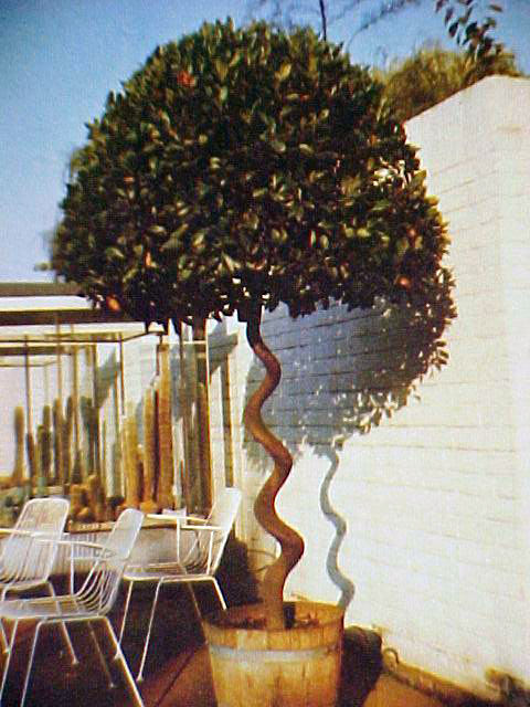 True Bay Laurel Tree, Laurus nobilis