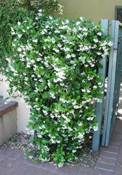 Confederate Jasmine Trachelospermum Jasminoides