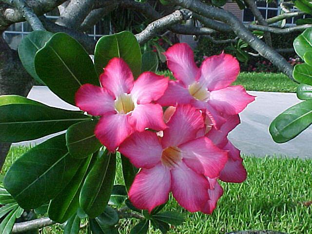 Desert rose live plants 10 exclusive varieties adenium for Plantes on line