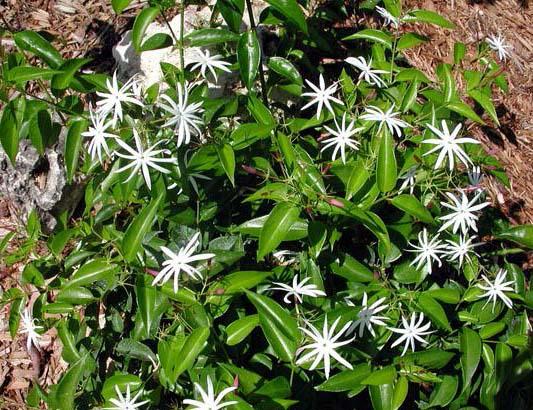 jasminum nitidum jasminum magnificum jasminum illicifolium. Black Bedroom Furniture Sets. Home Design Ideas