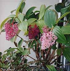 Medinilla Myriantha Malaysian Orchid