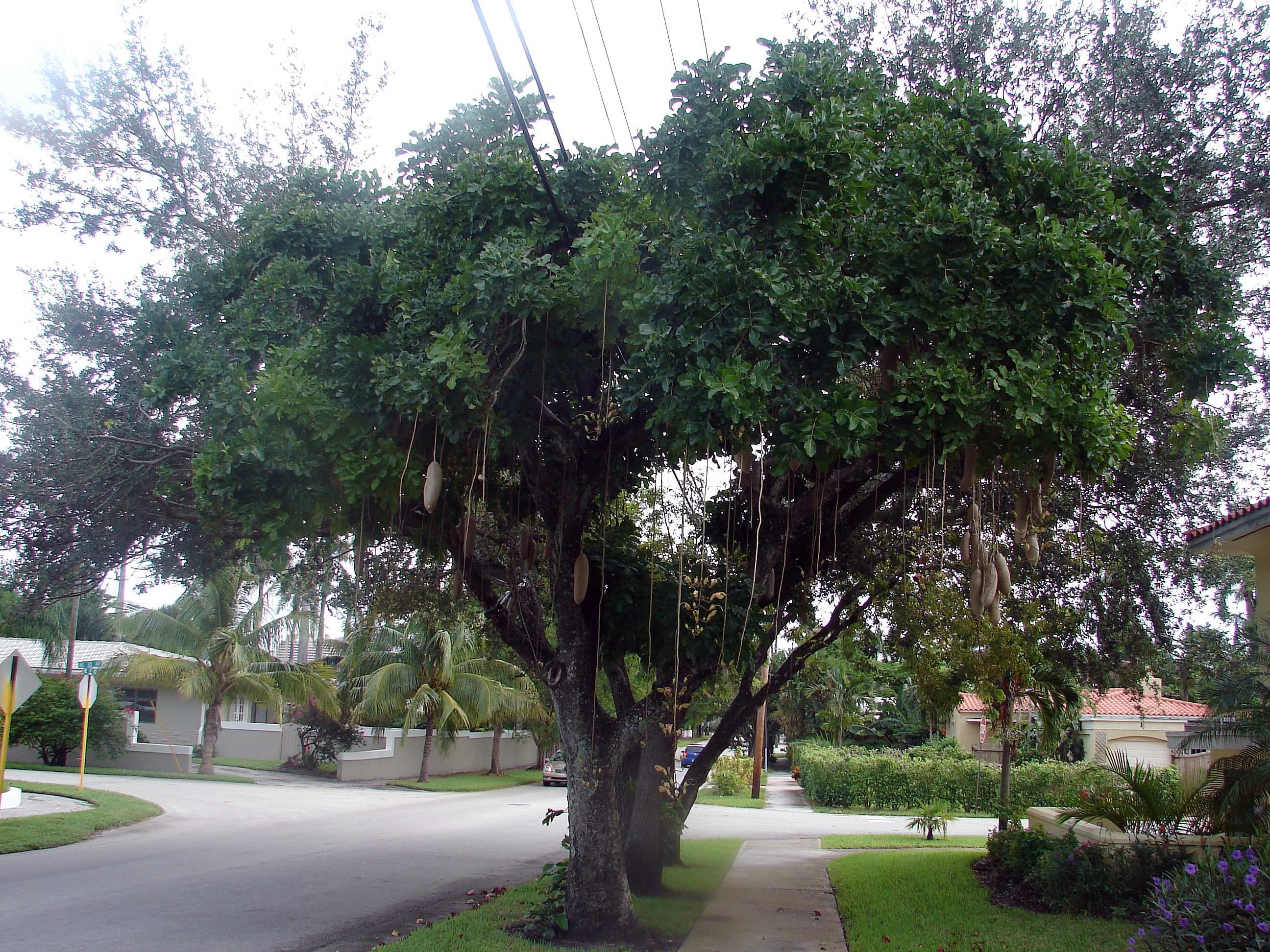 Sausage Tree Kigelia Pinnata Kigelia Africana