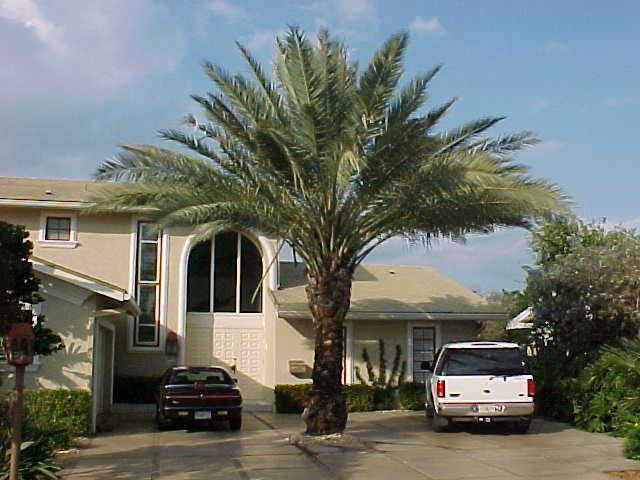 True Date Palm Phoenix Dactylifera