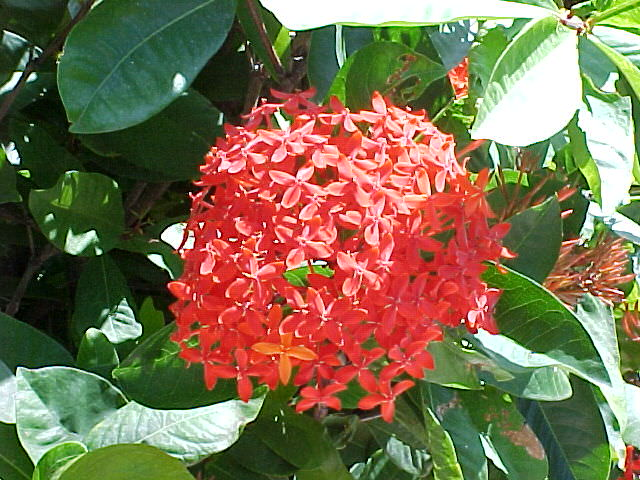 Snow White Ixora Snow Ball, Ixora Spp.