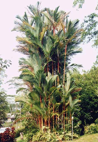 Red Sealing Wax Palm Crytostachys Lakka Or Crytostachys Renda
